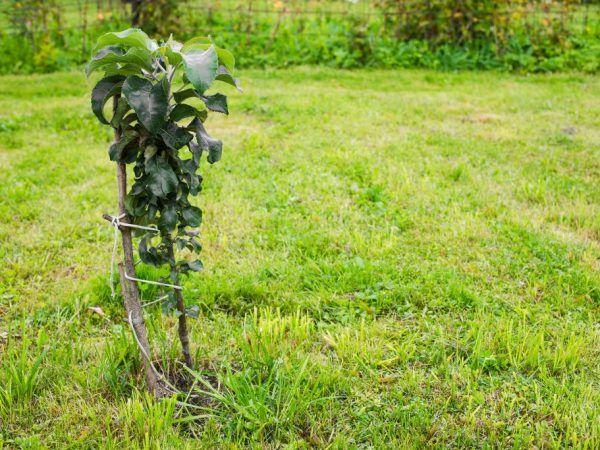 Яблуня успішно зростає навіть при суворому кліматі