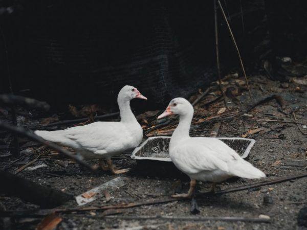 За да накарате патицата бързо да наддаде на тегло, можете да добавите към диетата си корите от диня или диня - те подобряват метаболитния процес