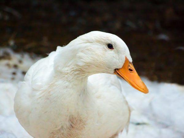 Липса на снасяне на яйца в патица