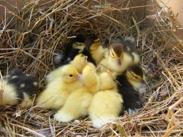 По-добре е веднага да вземете новородени патета, така че патицата да не ги смачка случайно. И когато всички патета се излюпят и изсъхнат, те се връщат в патицата