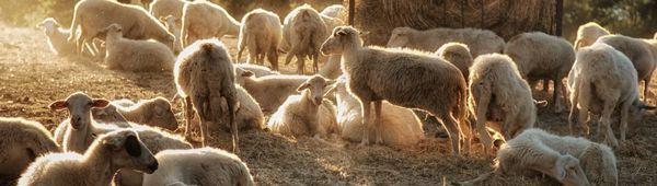 Овцевъдство в света