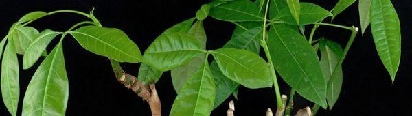 Pakhira aquatica (водна): описание и възпроизвеждане на стайно растение