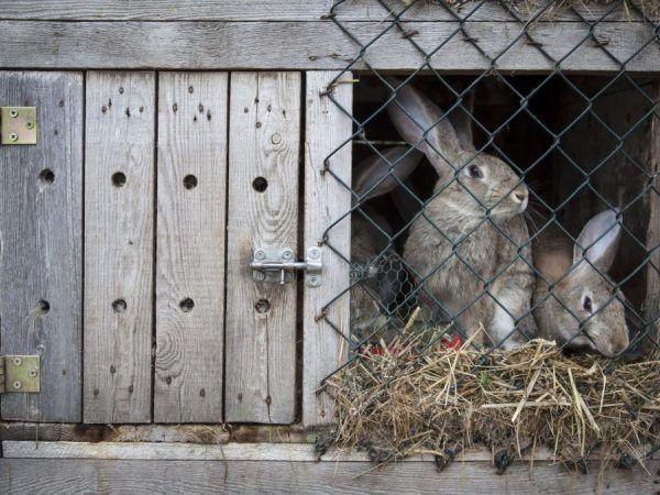 Защо зайците се грижат в клетки и какво да правят по въпроса
