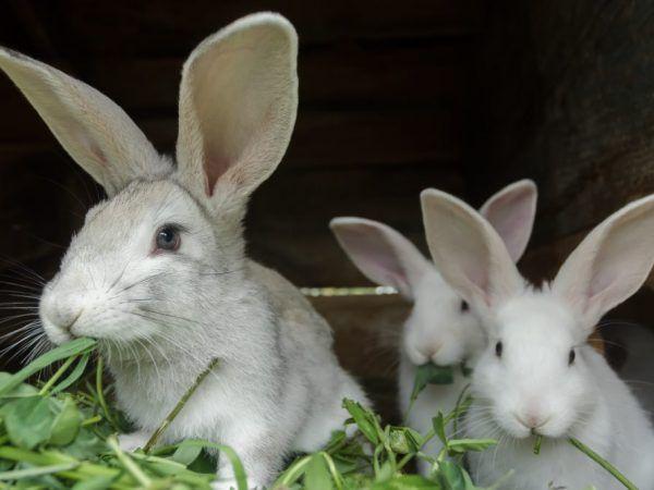 Подготовка за раждането на заек