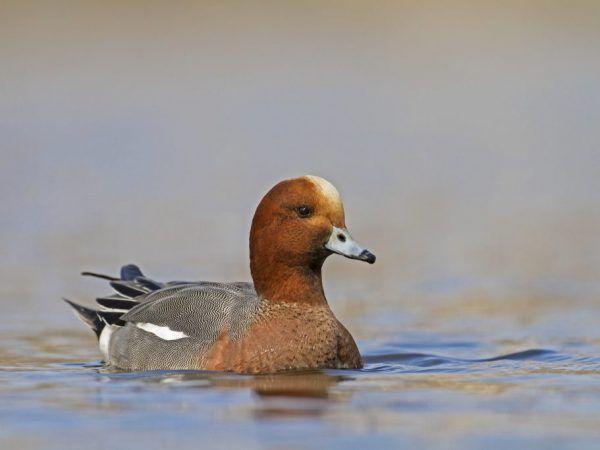 Подробно описание на патица sviyaz