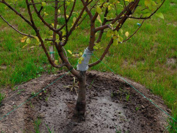 Підщепа для яблуні - якими вони бувають і як виростити