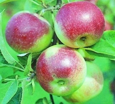 Stupeň jabĺk Mladý prírodovedec
