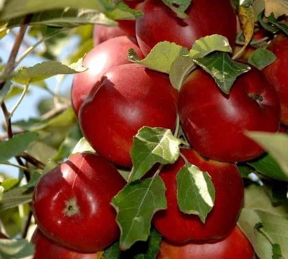 Чаши от ябълково дърво