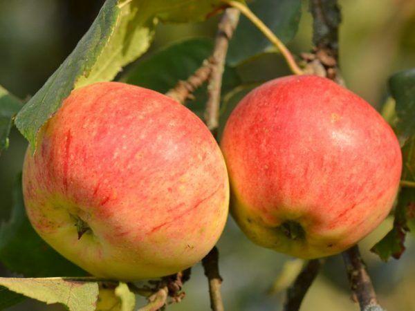 Ползите от ябълките за мъжете