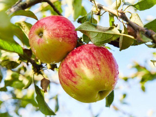 Ползите от ябълките за жените - кой сорт да изберете
