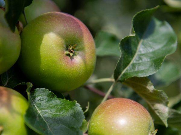 Регулярне вживання яблук покращує стан волосся