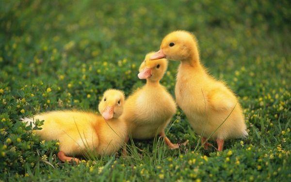 Diareea goslings: cum să tratezi