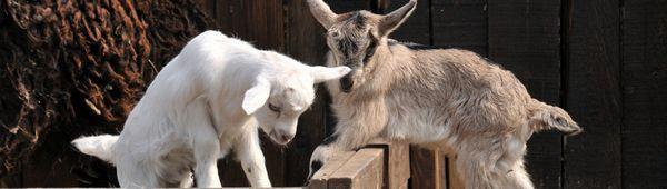 Диария при коза: основните причини за това как и как да се лекуват възрастни и деца