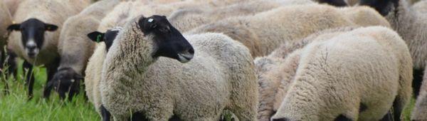 Романовска порода овце: външен вид, предимства и недостатъци, грижи