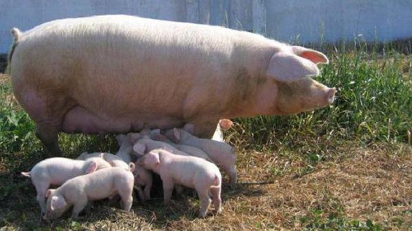 Порода свине ландрас - описание, характеристики