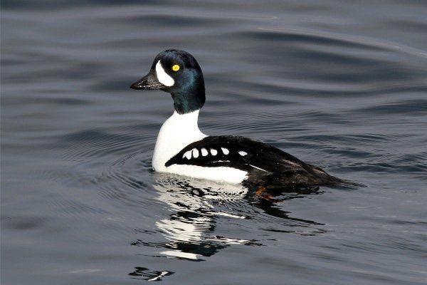Порода на патицата `gogol`: описание, начин на живот и домашно съдържание