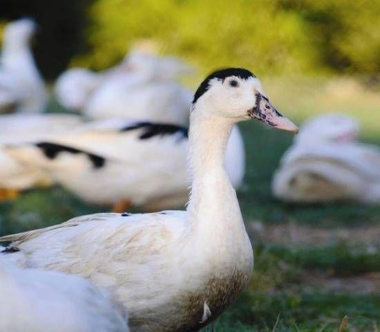 Мулард порода патица