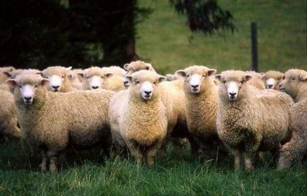Порода овце