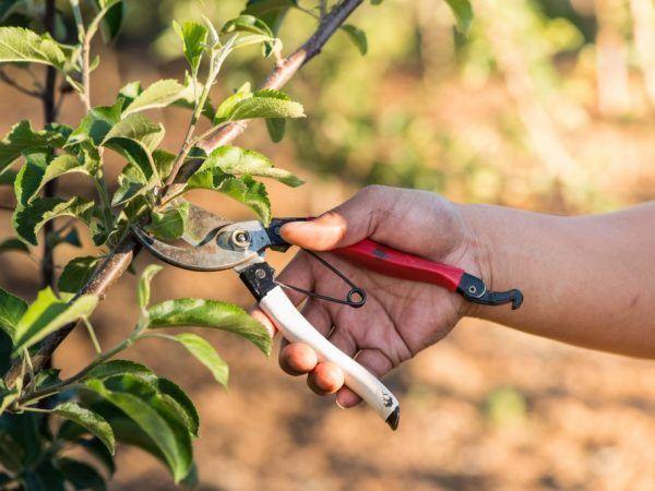 Правила обрізки колонних яблунь