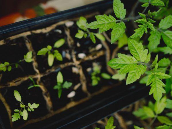 Culesul ajută la întărirea rădăcinilor