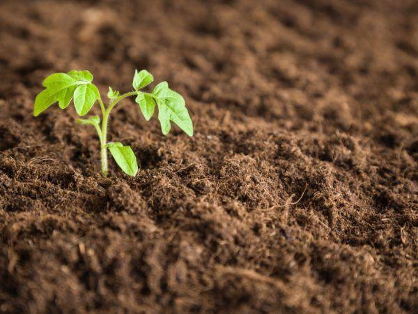 Пересаджувати розсаду необхідно в прогріту грунт
