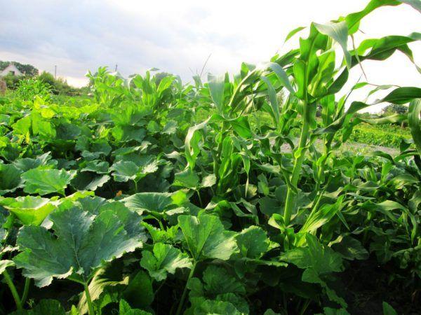 Тиквата се разбира добре с царевицата