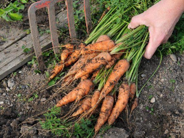 Правила за прибиране на моркови през 2019 г.
