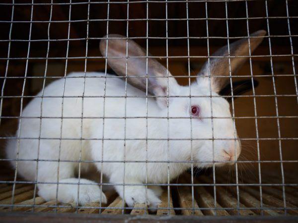 Правила за отглеждане на зайци