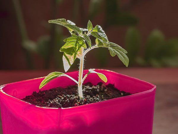 Правила за отглеждане на домати в кофа
