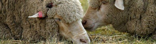 Причини за диария при овце, лечение и профилактика