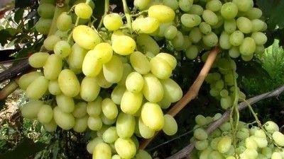 Признаци на гроздова хлороза и нейните видове, снимки и методи за лечение на болестта