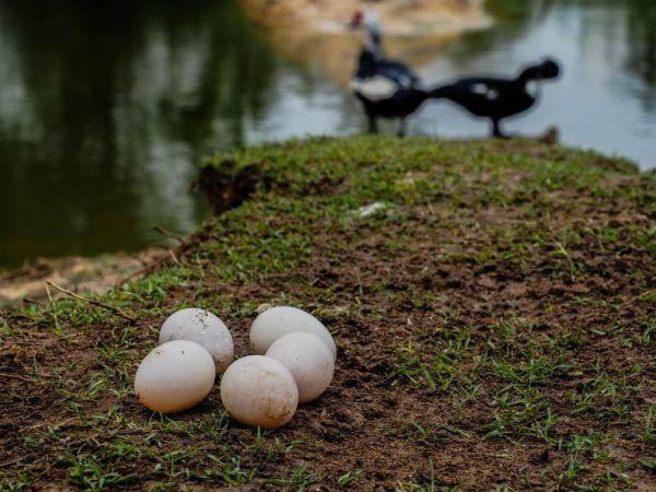 Ако птицата започне да изпитва дискомфорт в гнездото, тя ще потърси друго място, където можете да се приберете, или изобщо ще престане да бърза.