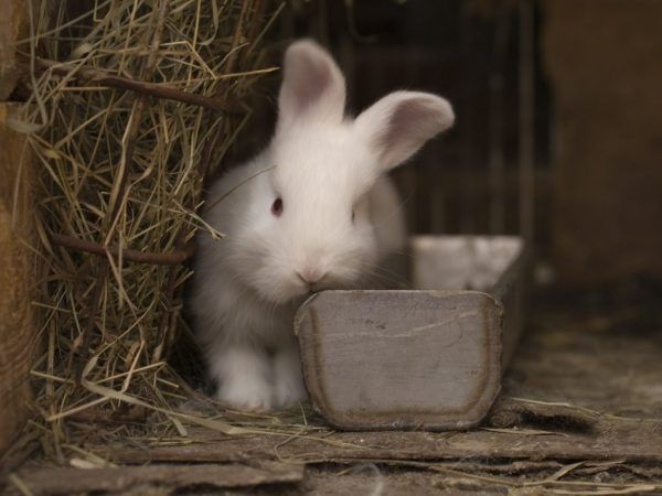 Продължителност на живота на зайци у дома