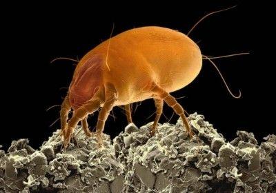 Възмездие за помия: откъде идват прахови акари и как да се справим с тях? Снимка и описание на същества