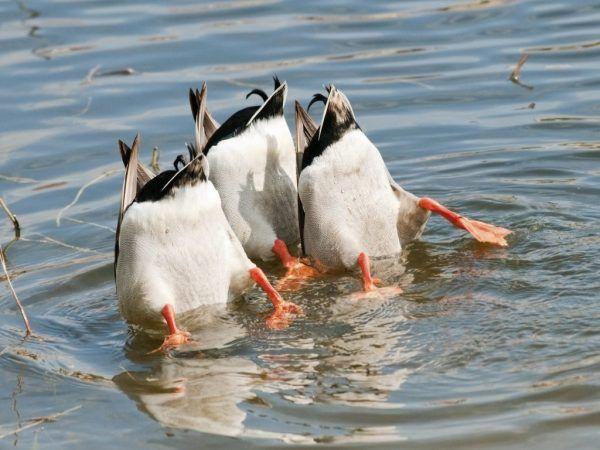 Сортове за гмуркане на патици