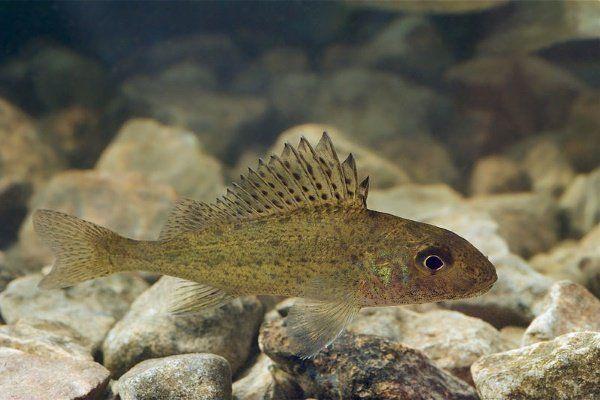 Обикновена риба: черти, начин на живот, риболов и развъждане