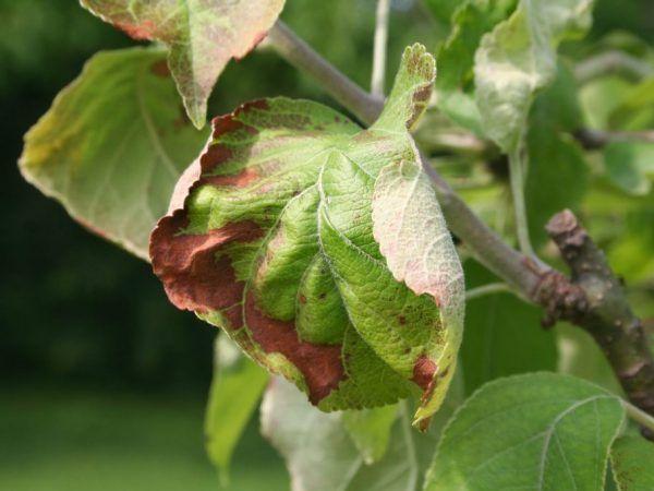 Іржа на листках яблуні - як врятувати рослина
