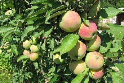 Jablká žiara Solntsedaru na vetve