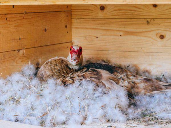 Гнезда за домашна патица