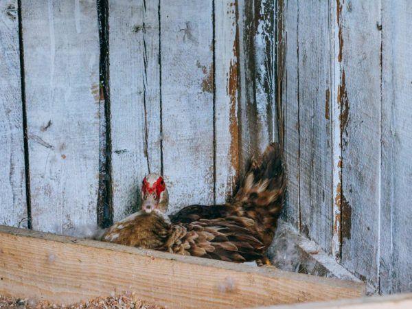 Дървените гнезда трябва да се правят с покрива, тогава патицата ще се почувства защитена