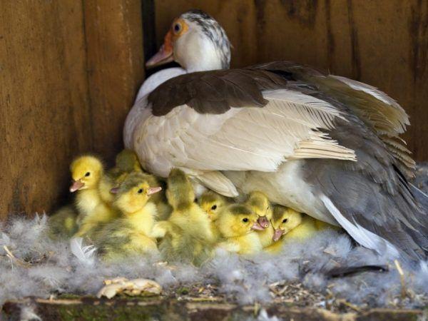 Гнездото трябва да бъде разположено така, че птицата да е в тишина и уединение, а фермерът е удобно да почиства гнездото и да събира яйца