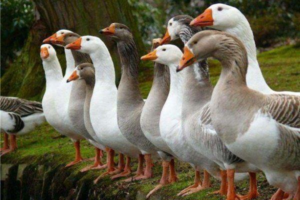 гъски