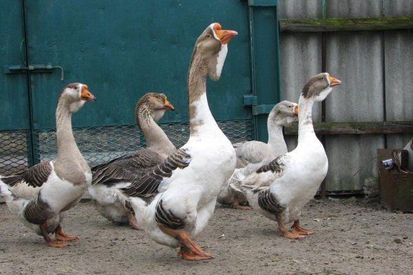Холмогорск гъски