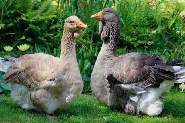 Тулузска порода гъски