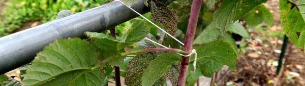 Гоблен за малини у дома: видове и методи на производство