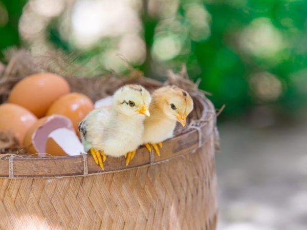 Колко дни гъските излюпват яйца