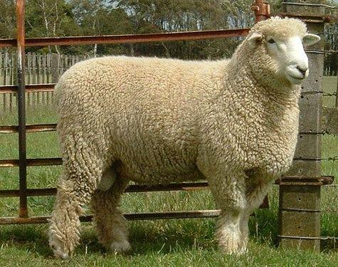 Колко средно тежи един овен и какви показатели влияят на това?