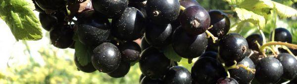 Огледало от сортове касис черен цвят: характеристики и особености на отглеждането