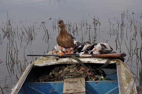 Съдържанието на патица с примамки, особено храненето и отглеждането