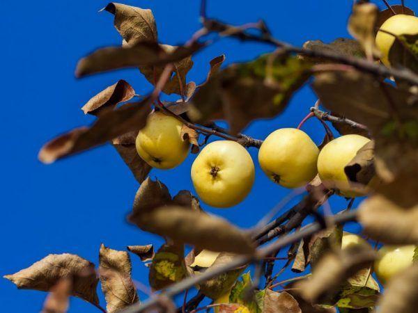 Сохне яблуня - розбираємо причини і способи усунення проблеми